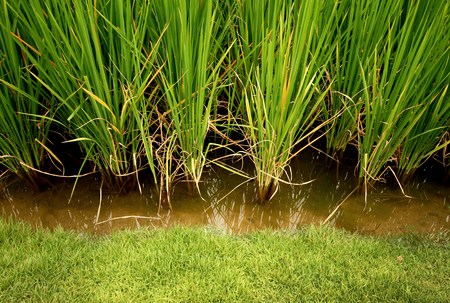 Rice, cereal plant Stock Photo