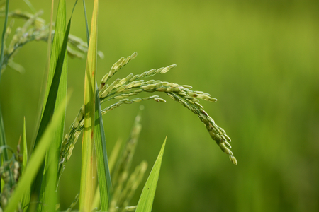Rice plant with grain photo