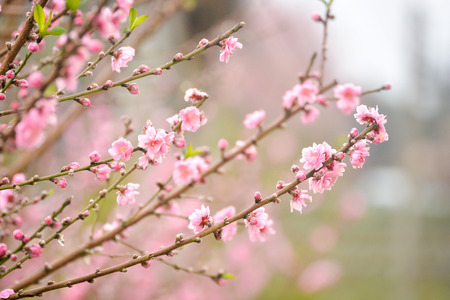 ume: Japanese apricot pink flowers blossom