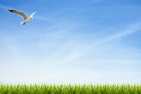 Bird fly over fresh green grass under blue sky ,clouds and sunlight of summer background