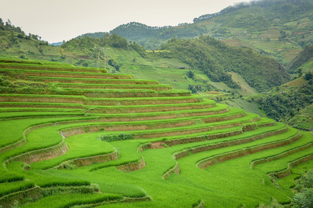 terraced field: Beautiful green rice field terraced in Mu Cang Chai, Vietnam