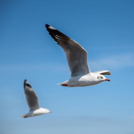 seabird: Seagull white seabird flying in the blue sky
