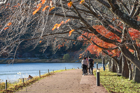kawaguchi: unidentified japanese people on pedestrain walkway under row of tree in autumn near Kawaguchi lake, Yamanashi prefecture, Japan