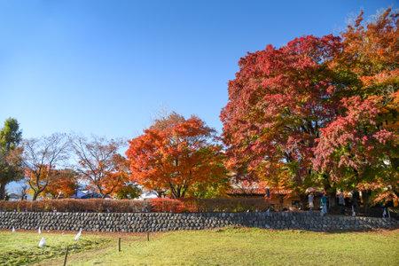 tunnel view: colorful maple tree in Autumn season at Momiji tunnel near Kawaguchiko lake and Fuji mountain view, beautiful nature landscape in Japan