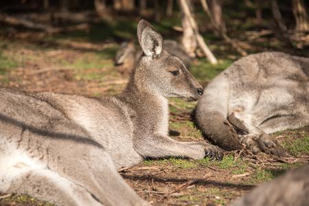 wildlife conservation: Australian kangaroo sitting on field in Moonlit Sanctuary Wildlife Conservation Park near Melbourne, Australia Stock Photo