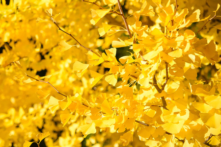 Closeup of yellow Ginkgo Biloba leaves in Autumn of Japan Stock Photo