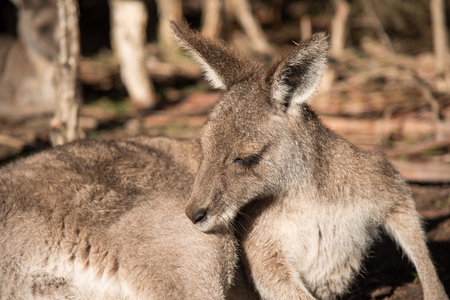 wildlife conservation: Australian kangaroo sitting in Wildlife Conservation Park near Melbourne, Australia
