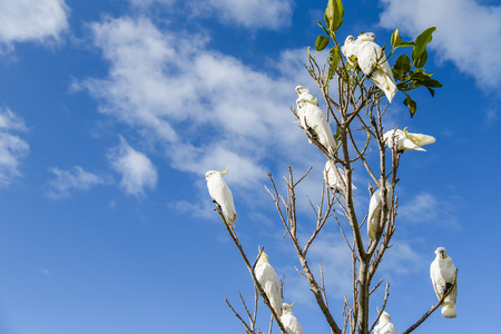 Group of white cockatoo perched on branch of tree with blue sky in background, lovely wildlife animal in Australia