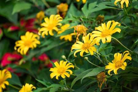 tree marigold: Mexican sunflower weed (Bua Tong), beautiful yellow flower in winter season of Thailand