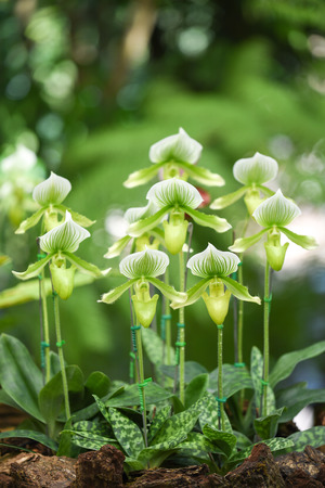 group of green Paphiopedilum orchid, beautiful flower in the garden