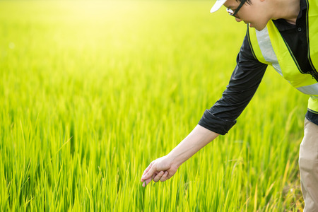 Young Asian male agronomist or agricultural engineer observing green rice field for the agronomy research. Agriculture and technology concepts