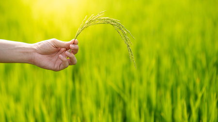 Male agronomist hand holding rice spike in green rice field. Cereal plant cultivation. Agriculture, nature and food concept