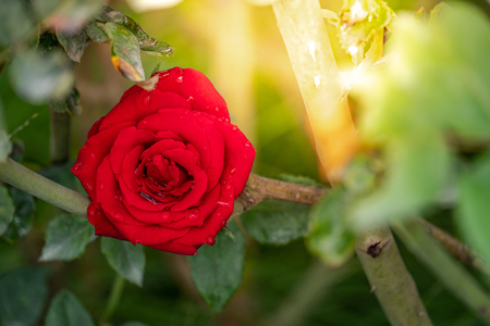 Close up of full bloom red rose with dewdrops on petals in the flower garden. Love and Valentine concepts