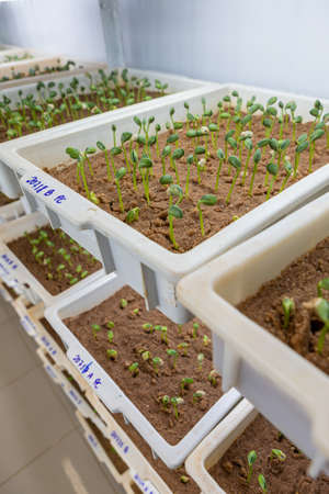 Soy beans germinating on trays inside a laboratory