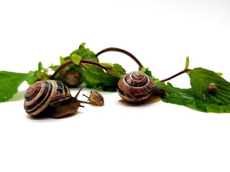 Snails on hazelnut leaves isolated on white background