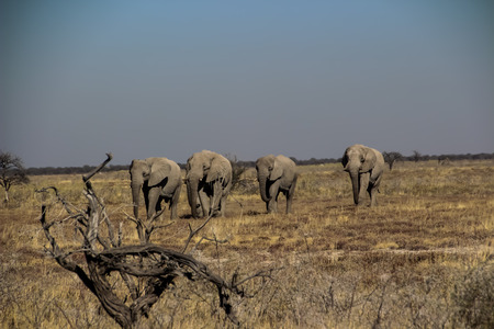 Wild elephants in the steppe of Africa