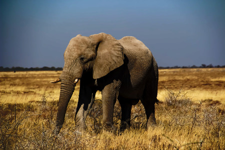 Wild elephants in the steppe of Africa Uganda Stok Fotoğraf