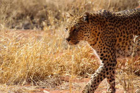 Wild Leopards in Africa Namibia Stock Photo