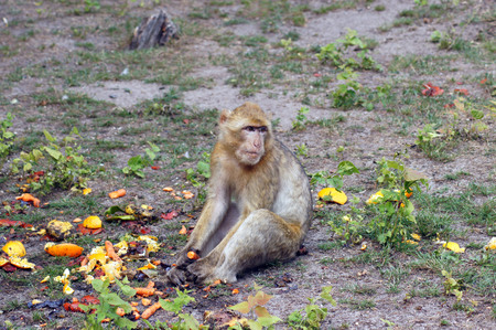 Berber monkeys in captivity at the zoo 版權商用圖片