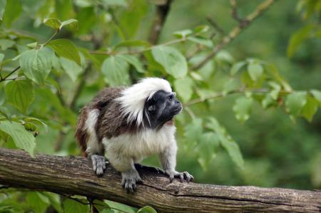 Liszt Monkey in captivity in the zoo