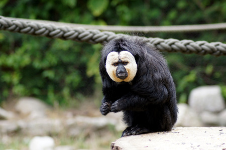 Whitehead Saki monkey in the Gaafangenschaft in the zoo