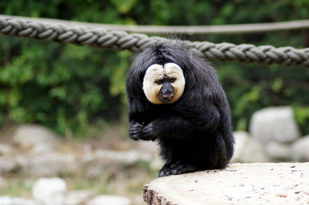 Whitehead Saki monkey in the Gaafangenschaft in the zoo