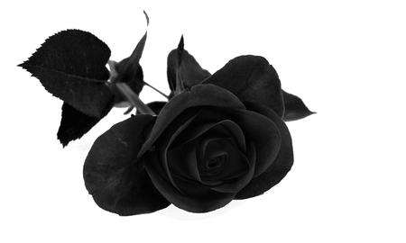 Black Rose on white background Stok Fotoğraf
