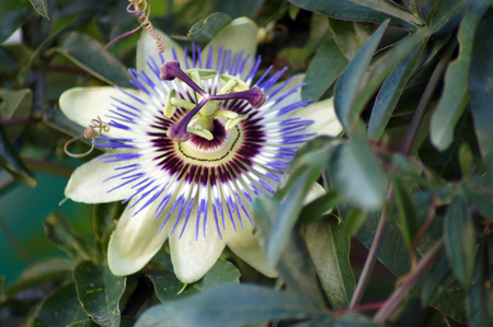 Flower of a Passion flower