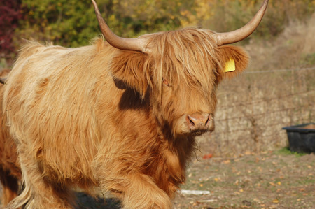 Scottish Highland cattle at the farmers pasture Imagens