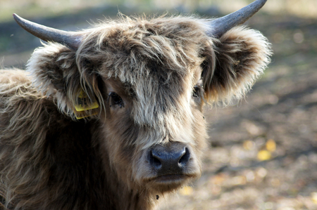 Calf Scottish highland cattle at the organic farmer in the pasture