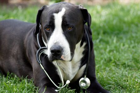 Dog as a vet with stethoscope