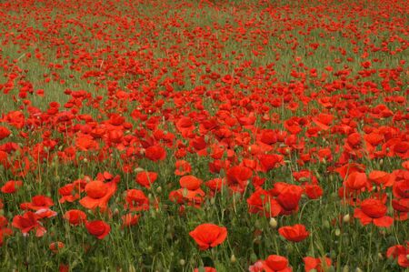 Poppy field Papaver rhoeas a flower paradis for insects 免版税图像