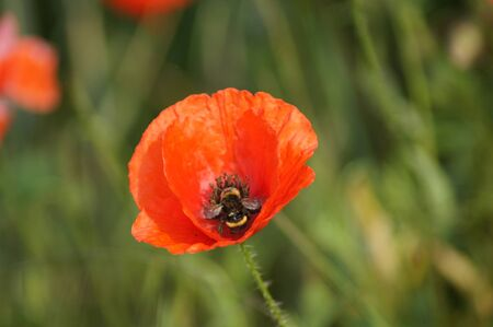 Poppy field Papaver rhoeas a flower paradis for insects 版權商用圖片