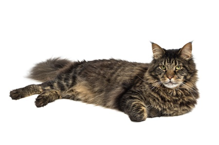 coon: maine coon cat in black tabby 1