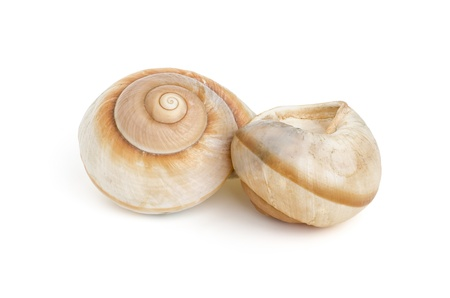 gastropoda: two brown sea snail shells Stock Photo