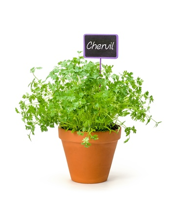 labeled: Chervil in a clay pot with a wooden label