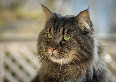Maine Coon photo