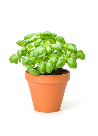 spicy plant: Basil in a clay pot