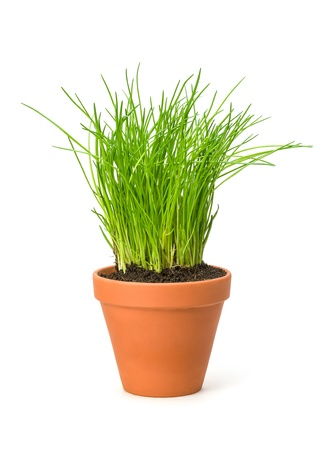 chives: Chives in a clay pot Stock Photo