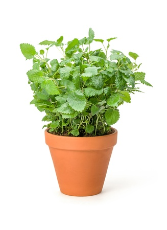 balm: Lemon balm in a clay pot