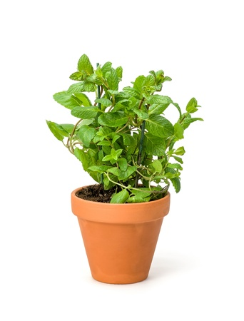 flower pot: Mint in a clay pot Stock Photo
