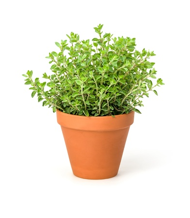 flower pot: Oregano in a clay pot Stock Photo