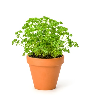 Parsley in a clay pot Stock Photo