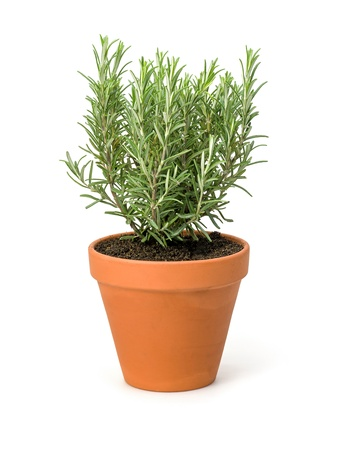 flower pot: Rosemary in a clay pot
