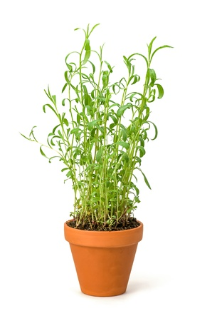 Tarragon in a clay pot  photo