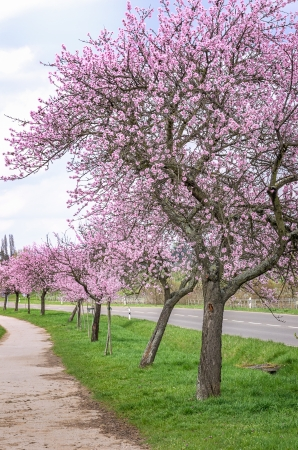 almond bud: Almond blossom on the German Wine Route