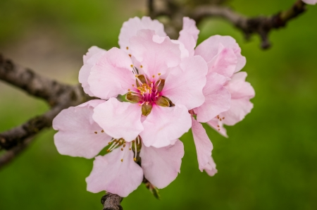 almond tree: Close-up of an almond flower