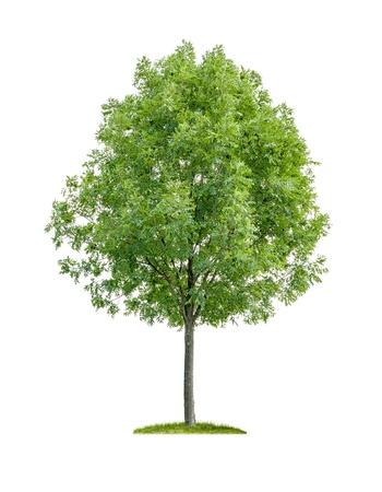 isolato albero deciduo su uno sfondo bianco