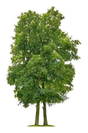 白い背景で隔離されたカエデの木 写真素材