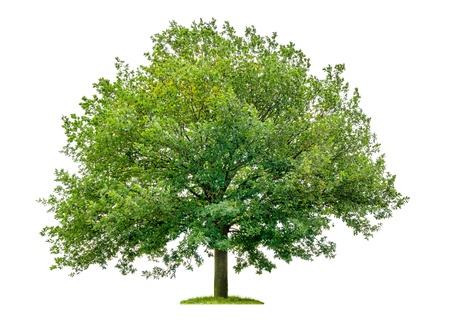 白い背景の上の孤立したオークの木